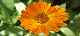 Blüte der Ringelblume