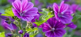 Common_mallow1