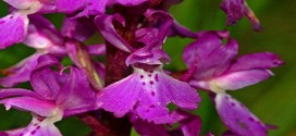 Orchidaceae_-_Orchis_mascula-1