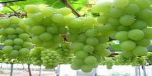 خواص انگور و دیابت
