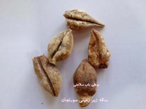 درمان نقرس و آرتروز با سورنجان یا همان گل حسرت
