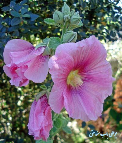 خواص گل ختمی یا گل هیرو