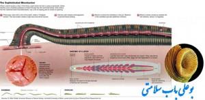 زالو درمانی مورد تایید سازمان غذا و داروی آمریکا (FDA)