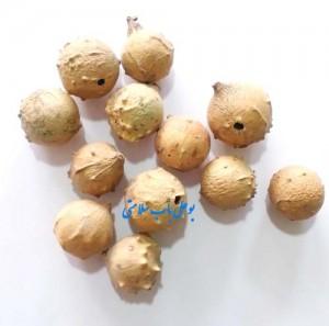 گیاه مازو