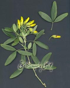 گیاه آناغورس