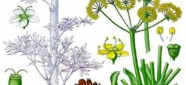 گیاه انجدان