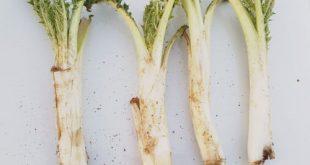 ریشه کنگر